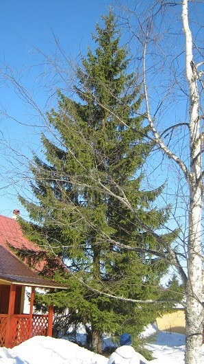 дерево на участке